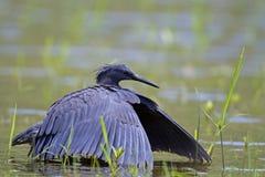 Héron noir marchant dans l'eau en eau peu profonde Photo stock