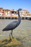 Héron noir sur la plage dans Sharm El Sheikh Photo libre de droits