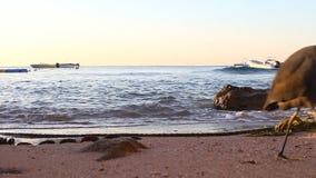Héron noir sur le rivage de la Mer Rouge banque de vidéos