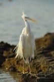 Héron occidental de récif Photo libre de droits