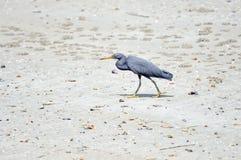 Héron oriental de récif Photo libre de droits