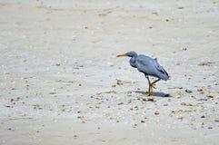 Héron oriental de récif Photographie stock libre de droits