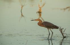 Héron rougeâtre à une lagune images stock