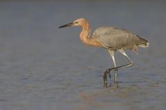 Héron rougeâtre égrappant sa proie dans une lagune - la Floride images libres de droits