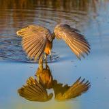 Héron rougeâtre photographie stock libre de droits