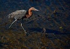 Héron rougeâtre dans la zone humide côtière photo stock
