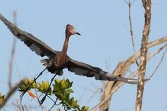 Héron rougeâtre en vol image libre de droits