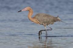 Héron rougeâtre forageant dans une lagune de marée peu profonde - la Floride photos libres de droits