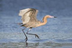 Héron rougeâtre forageant dans une lagune peu profonde - la Floride photo libre de droits