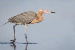 Héron rougeâtre forageant dans une lagune peu profonde - la Floride images stock