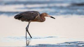 Héron rougeâtre forageant, San Carlos Bay, conserve de plage de Bunche, la Floride photographie stock