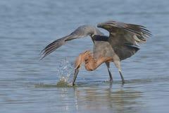 Héron rougeâtre frappant à un poisson - St Petersburg, la Floride photo stock
