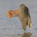 Héron rougeâtre lissant ses plumes - la Floride images stock