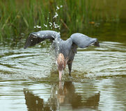 Héron rougeâtre plongeant sa tête dans l'eau en Floride photo libre de droits
