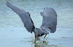Héron rougeâtre plongeant sa tête dans l'eau, la Floride photo libre de droits