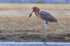 Héron rougeâtre (rufescens d'Egretta) mangeant un †de crochet de matin «un flet images libres de droits