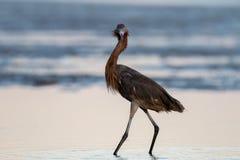 Héron rougeâtre, San Carlos Bay, conserve de plage de Bunche, la Floride photographie stock libre de droits