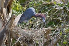 Héron rougeâtre sur son nid, regardant vers le bas ci-dessous image stock