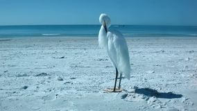 Héron solitaire blanc se tenant et posant sur la plage blanche de sable du Golfe du Mexique banque de vidéos