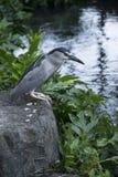 Héron strié également connu sous le nom d'oiseau de héron de palétuvier pêchant le long du rivage dans Waikiki, Hawaï, Etats-Unis image stock