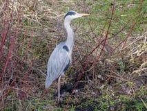 Héron sur la banque de la rivière Colne, Rickmansworth photos libres de droits