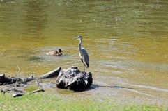 Héron sur la rivière Dee, Chester Photographie stock libre de droits