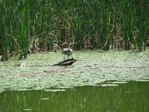 Héron sur un arbre dans un marais Image stock