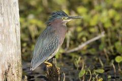 Héron vert été perché sur un tronçon - la Floride photos stock