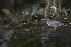 Héron vert dans l'eau images libres de droits