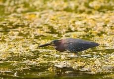 Héron vert dans un marais Image stock