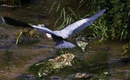 Héron vert par une rivière Photographie stock