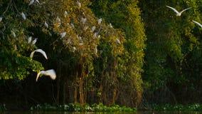Hérons blancs au-dessus d'arbre atlantique de forêt tropicale dans la réservation écologique REGUA de Guapiacu images libres de droits
