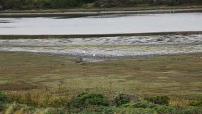 Hérons blancs marchant sur Muddy Shore Estuary Point Reyes la Californie clips vidéos