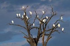 Hérons blancs sur l'arbre Images stock