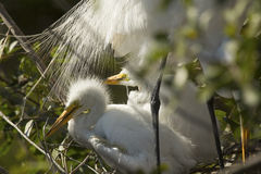 Hérons de bébé se reposant sous des plumes de queue d'un adulte, la Floride photo stock