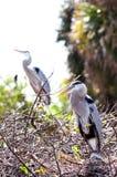 Hérons de grand bleu dans le nid, Image stock