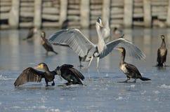 Hérons et cormorans, une oasis de Val Campotto, Ferrare, Italie Image libre de droits