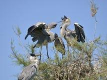 Hérons gris dans le nid Photographie stock libre de droits