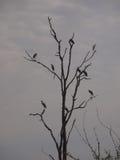 Hérons sur l'arbre en Zambie Images libres de droits