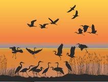 Hérons sur le rivage du coucher du soleil de lac Images libres de droits