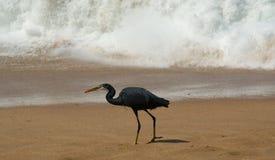 Hérons sur une plage sablonneuse près de l'océan Le Kerala, Inde du sud Photographie stock libre de droits