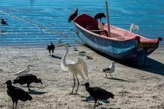 Hérons, vautours et un bateau Images stock