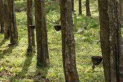Hévéa du caoutchouc naturel Photo stock