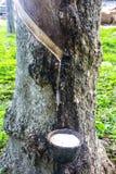 Hévéa le caoutchouc que sorti de l'hévéa Brasiliensis, l'arbre en caoutchouc d'appel d'arbre de Para Images stock