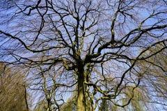 Hêtre accrochant - pendula de sylvatica de Fagus sous le ciel bleu Images libres de droits