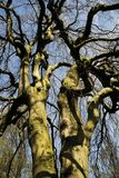 Hêtre accrochant - pendula de sylvatica de Fagus sous le ciel bleu Photo libre de droits