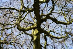 Hêtre accrochant - pendula de sylvatica de Fagus sous le ciel bleu Photos libres de droits