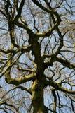 Hêtre accrochant - pendula de sylvatica de Fagus sous le ciel bleu Photos stock
