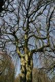 Hêtre accrochant - pendula de sylvatica de Fagus sous le ciel bleu Images stock