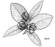 Hêtre avec l'illustration de feuilles et de fruits, dessin, gravure, encre, schéma, vecteur illustration de vecteur